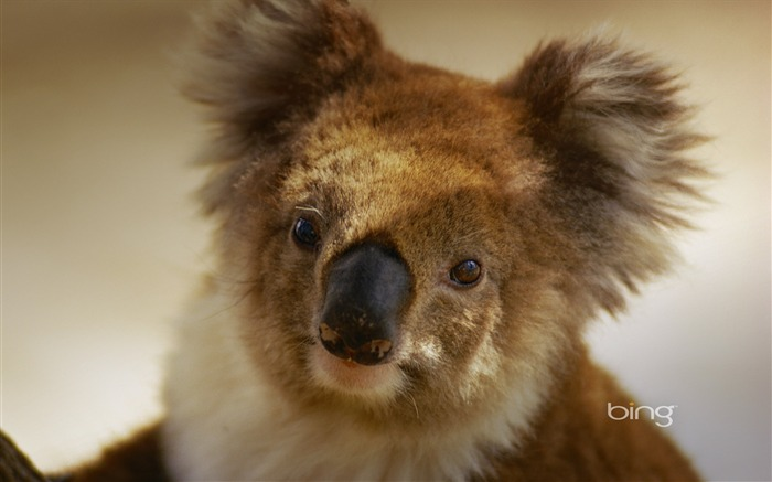 Australian national treasure naive koala wallpaper Views:13992 Date:6/20/2011 11:17:21 PM