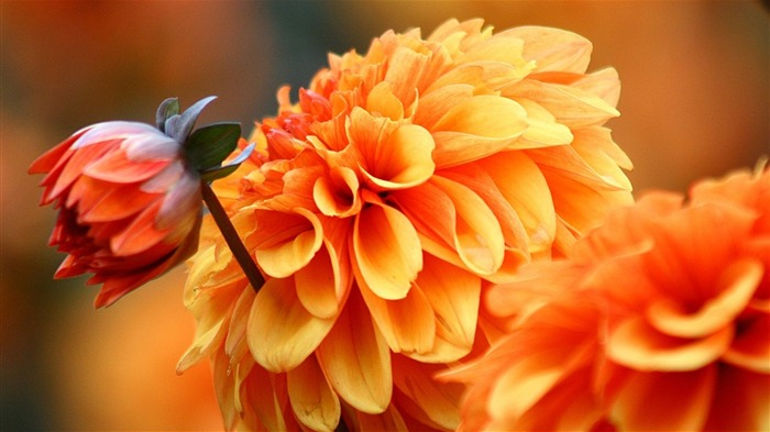 Graceful Dahlia Views:11970