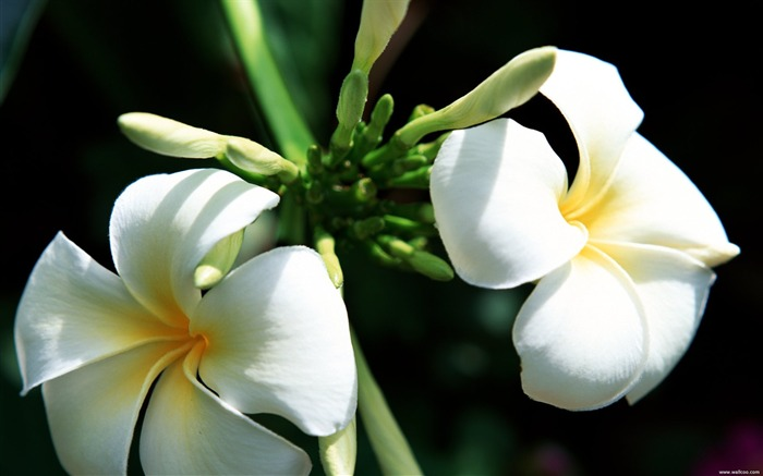 Tahiti plumeria wallpaper Views:7823