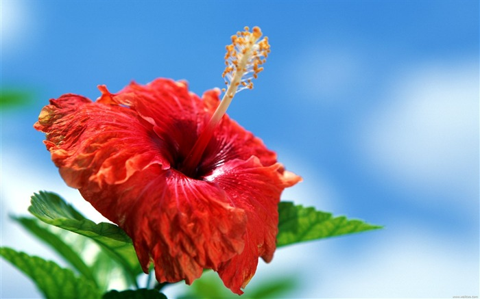 Tahitian red hibiscus wallpaper Views:20820