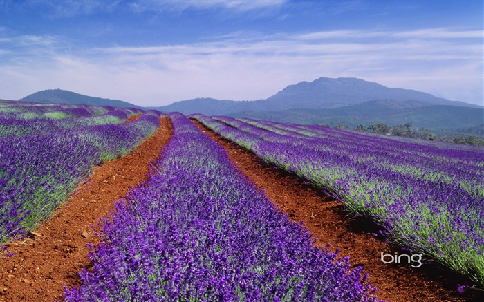 Tasmania Australia wallpaper of lavender fields Views:27191 Date:6/20/2011 11:26:19 PM