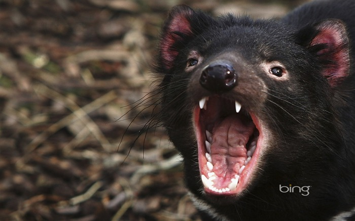Tasmanian devil Tasmanian devil wallpaper Views:14698 Date:6/20/2011 11:26:53 PM