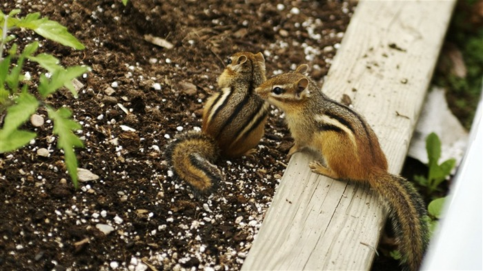 Two Cute chipmunks - chipmunk photos 1 Views:3741 Date:6/9/2011 10:34:01 PM