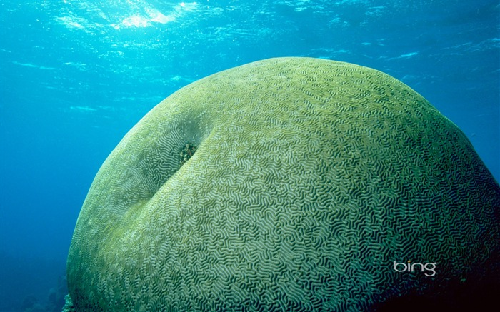 Undersea green apple which is the brain coral reef wallpaper Views:13410 Date:6/20/2011 11:29:08 PM