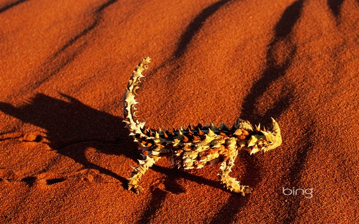 Walking through the red desert devil Horned Lizard wallpaper Views:19646 Date:6/20/2011 11:30:45 PM