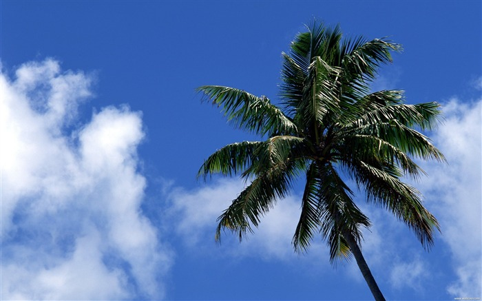 coconut trees under the blue sky wallpaper Views:9915