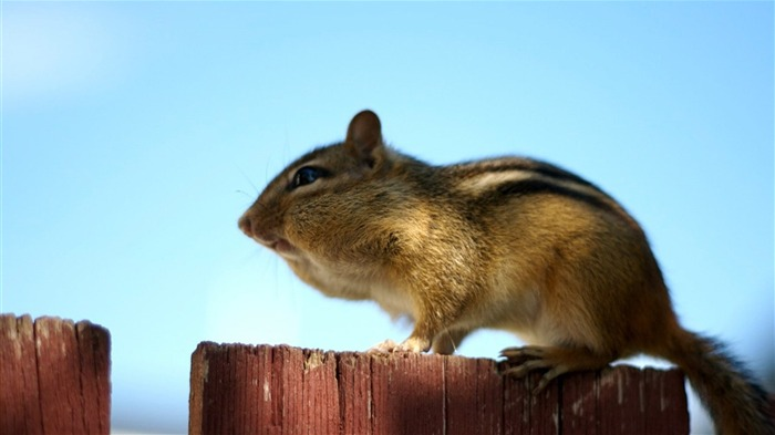 loveable Chipmunk Sunning - Chipmunk Wallpaper Views:2407 Date:6/9/2011 10:26:36 PM