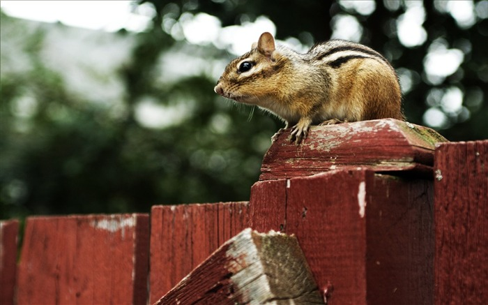 loveable Chipmunk on a Fence - Chipmunk Wallpaper Views:0 Date:6/9/2011 10:29:25 PM