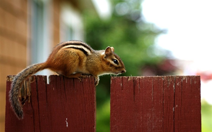 loveable Chipmunk on a Fence - Chipmunk Wallpaper Views:6012 Date:6/9/2011 10:24:39 PM