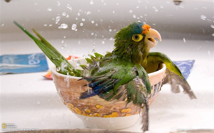 Bathing Parrot photo Parrot bathing in a bowl Views:6786 Date:7/20/2011 5:59:55 PM