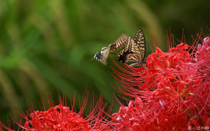 Butterfly on Lycoris-Lycoris radiata Flowers Picture 01 Views:11913