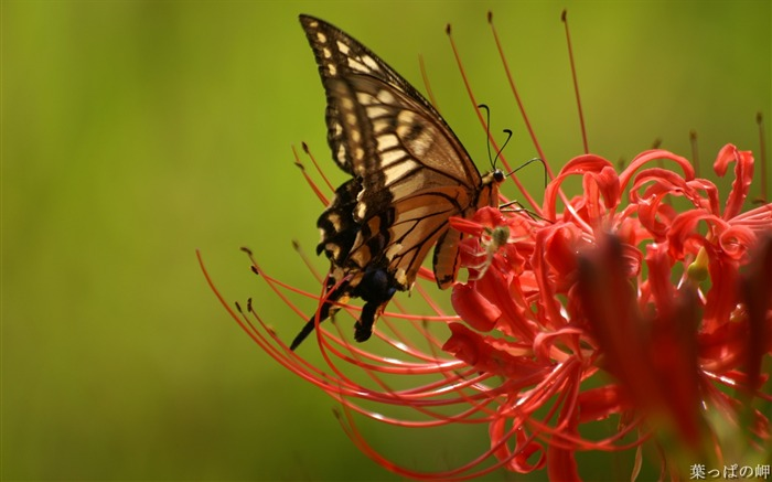 Butterfly on Lycoris-Lycoris radiata Flowers Picture 02 Views:12744