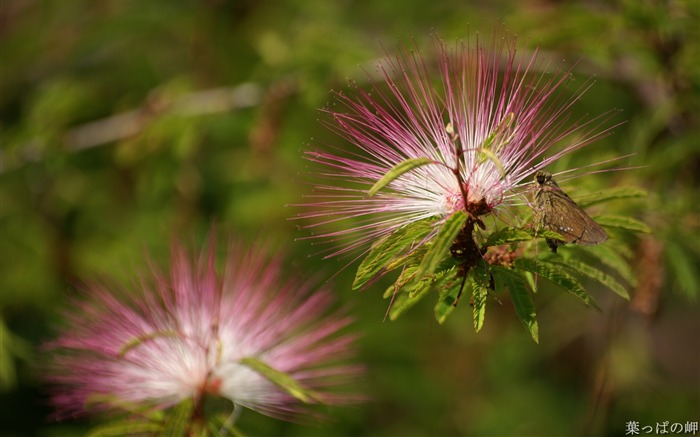 Calliandra Flowers-Calliandra californica Flower Photo Picture 01 Views:5999