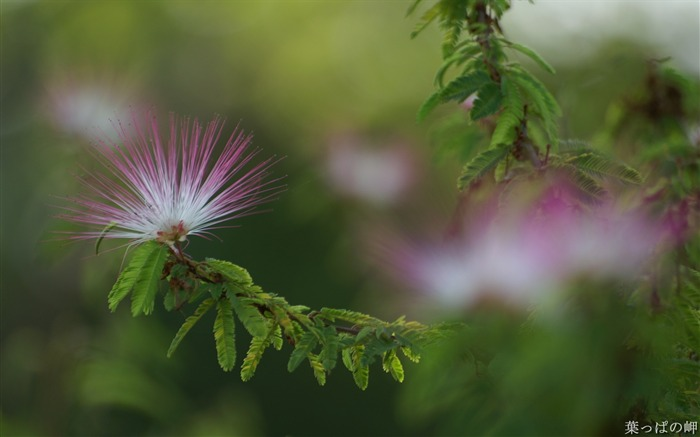 Calliandra Flowers-Calliandra californica Flower Photo Picture Views:7399