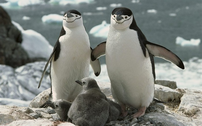 Chinstrap Penguin Parents and Chicks Antarctica Views:12281