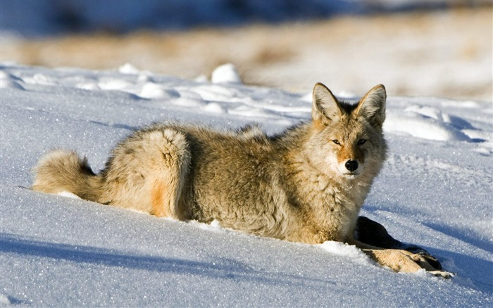 Coyote Lamar Valley Yellowstone National Park Views:7646