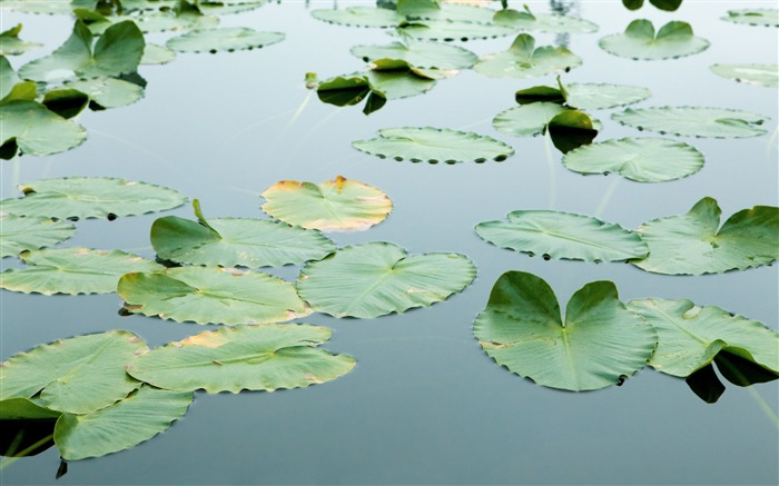 Floating Leaves Wallpaper Views:23434 Date:7/22/2011 7:05:24 AM