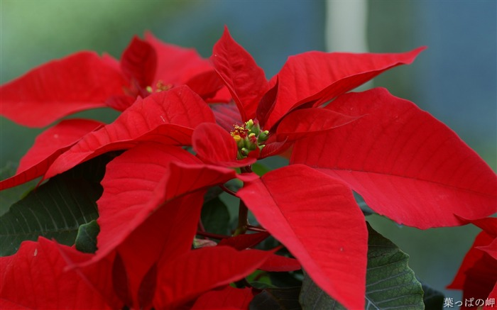 Flower Poinsettia-Poinsettia the Christmas Plant Picture Views:46968