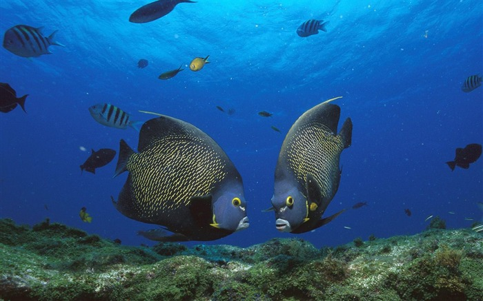 French Angelfish Pair Rocas Atoll Brazil Views:4216