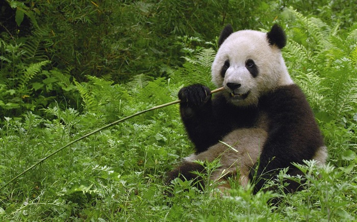 Giant Panda Eating Bamboo Wolong Reserve Sichuan Province China Views:13594