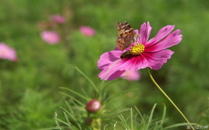Insect on cosmos-HD Cosmos Flower Picture Views:6114