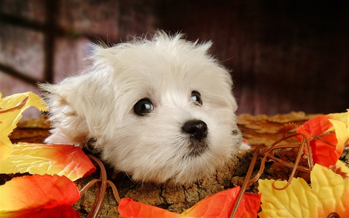 Small furry dog photo wallpaper Views:18713