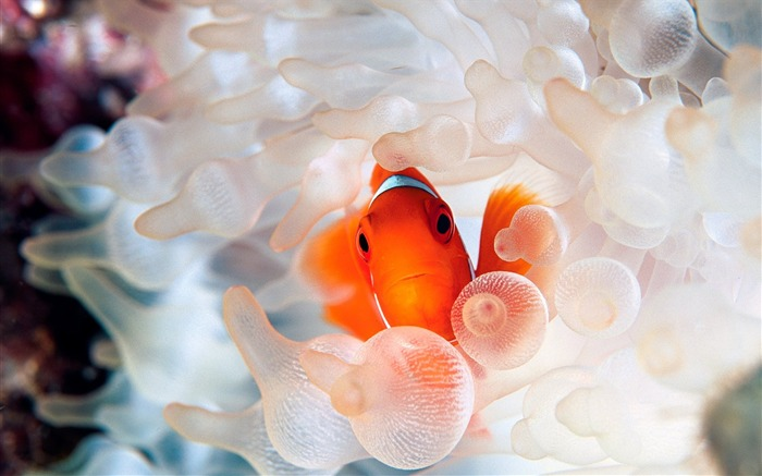 Nemo clownfish in anemone Views:8477 Date:7/20/2011 6:01:54 PM