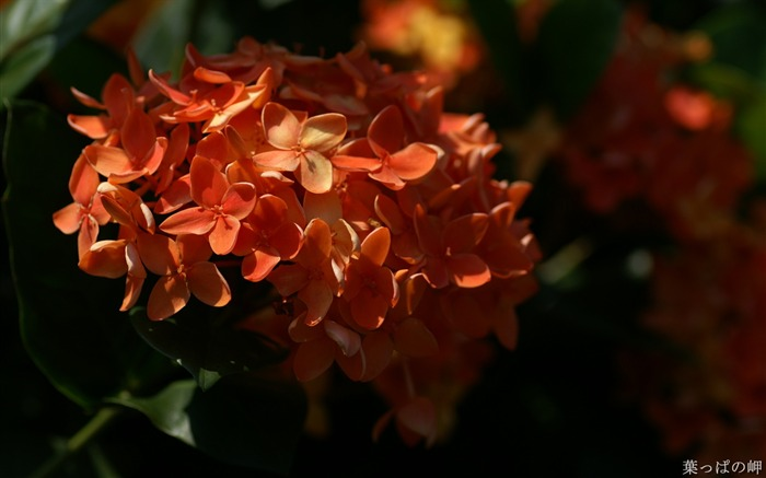 Orange Ixora coccinea Flower Photo Picture Views:4829
