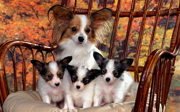 Papillon Mom and Puppies Views:4660