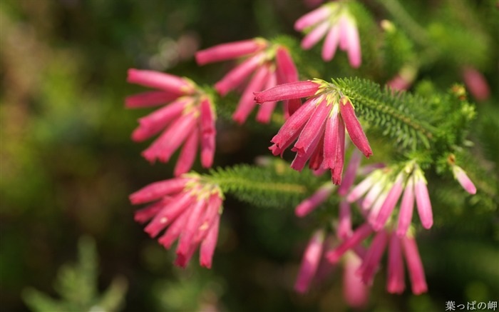 Pink Erica mammosa Flowers-HD Erica Flower Picture Views:6675