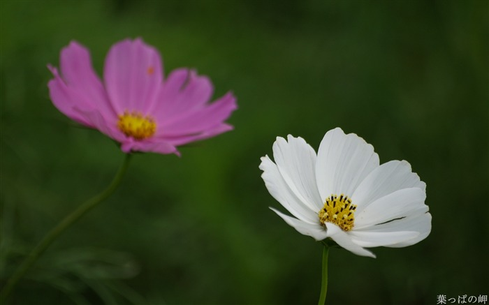 Pink and White cosmos-HD Cosmos Flower Picture 01 Views:5912