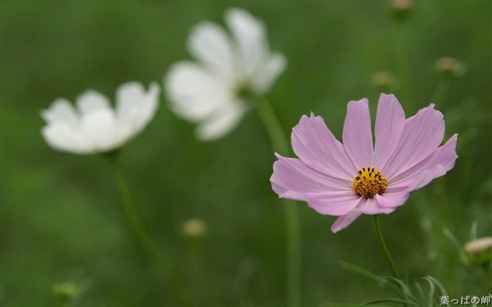 Pink and White cosmos-HD Cosmos Flower Picture Views:5960