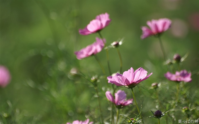 Pink cosmos-HD Cosmos Flower Picture Views:7030
