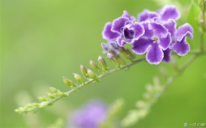 Purple Duranta Erecta-Duranta Flower Photo Picture Views:4105
