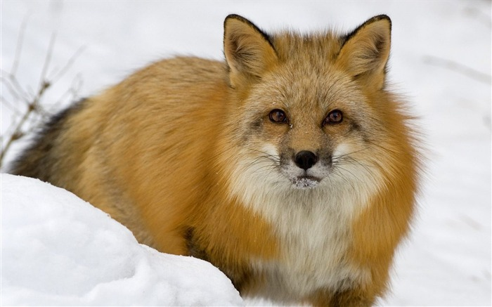 Red Fox in Snow Montana Views:6817