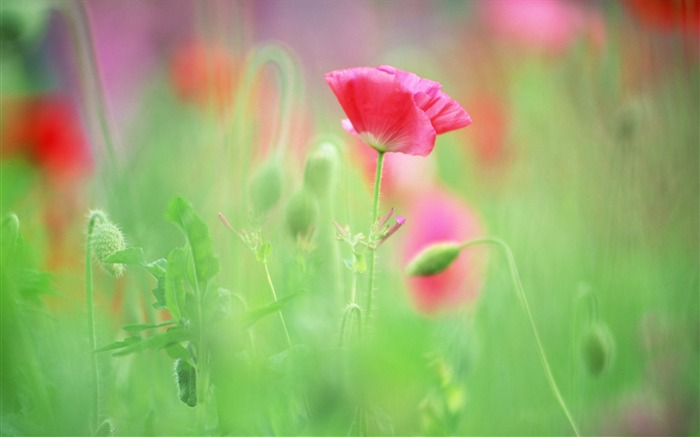 Soft Focus Photography - Romantic Flowers dim 09 Views:11621