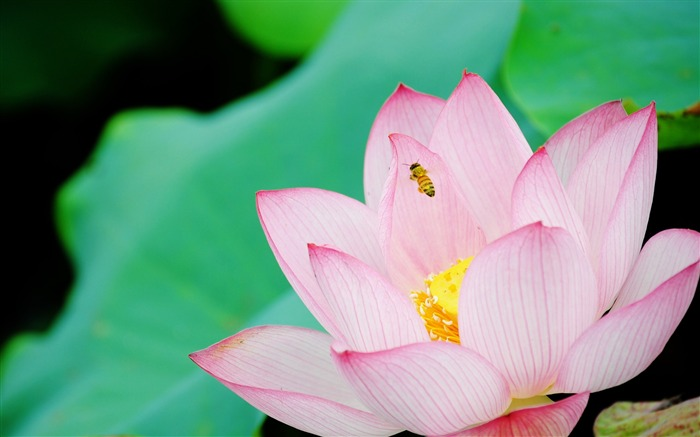 Summer Lotus HD Photography Wallpaper 01 Views:13339 Date:7/11/2011 6:39:35 AM