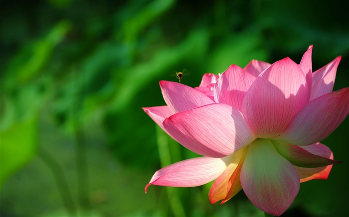 Summer Lotus HD Photography Wallpaper 03 Views:15642 Date:7/11/2011 6:40:15 AM