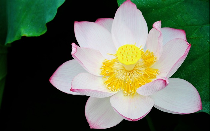 Summer Lotus HD Photography Wallpaper 04 Views:10887 Date:7/11/2011 6:40:35 AM
