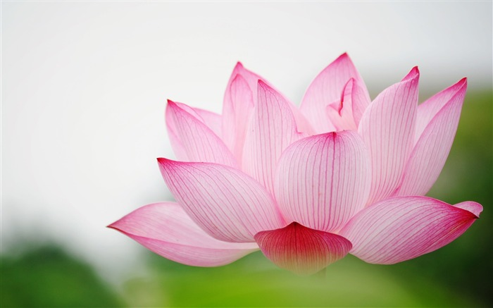 Summer Lotus HD Photography Wallpaper 05 Views:20388 Date:7/11/2011 6:40:58 AM