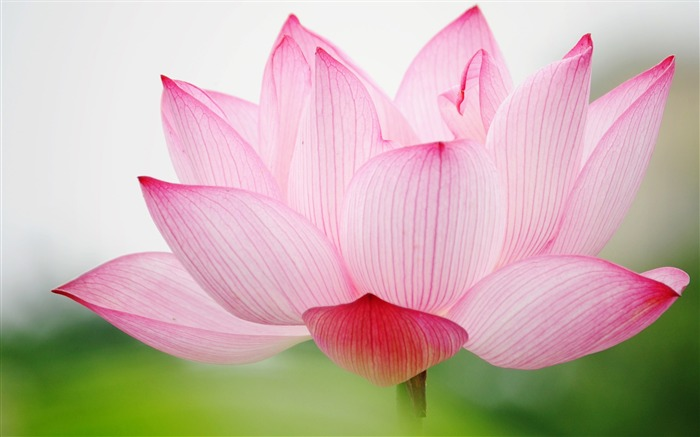 Summer Lotus HD Photography Wallpaper 06 Views:28625 Date:7/11/2011 6:39:13 AM