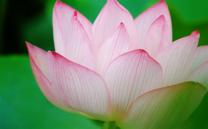 Summer Lotus HD Photography Wallpaper 10 Views:18401 Date:7/11/2011 6:42:19 AM