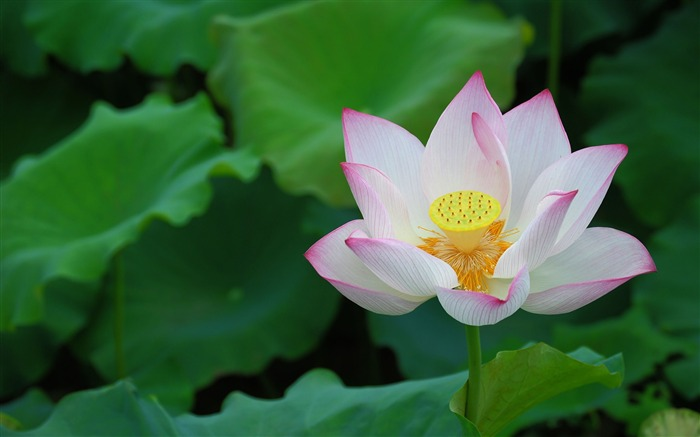 Summer Lotus HD Photography Wallpaper 11 Views:19302 Date:7/11/2011 6:42:40 AM