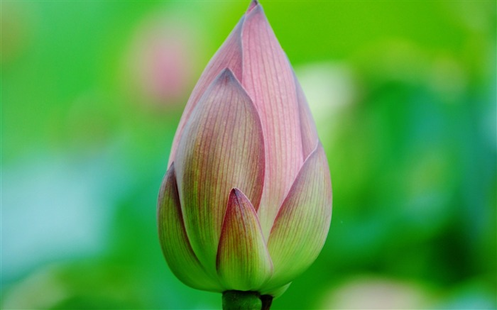 Summer Lotus HD Photography Wallpaper 12 Views:11027 Date:7/11/2011 6:43:01 AM