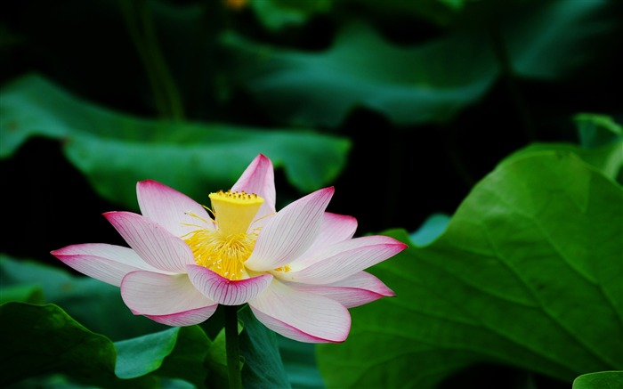 Summer Lotus HD Photography Wallpaper 17 Views:11435 Date:7/11/2011 6:44:52 AM