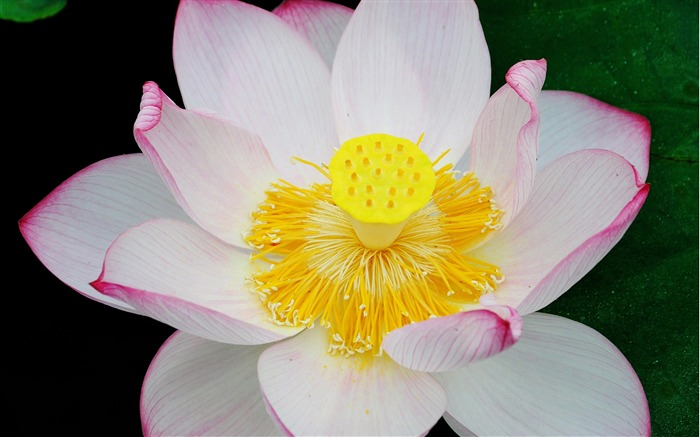 Summer Lotus HD Photography Wallpaper 18 Views:9712 Date:7/11/2011 6:45:14 AM