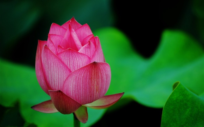 Summer Lotus HD Photography Wallpaper 19 Views:15732 Date:7/11/2011 6:45:39 AM