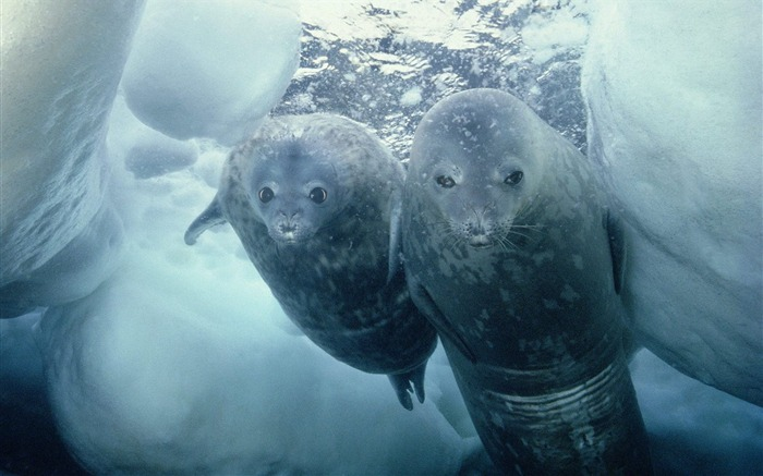 Weddell Seal and Pup Antarctica Views:4416