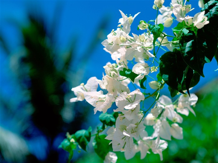 on the island of white flowers wallpaper Views:6186