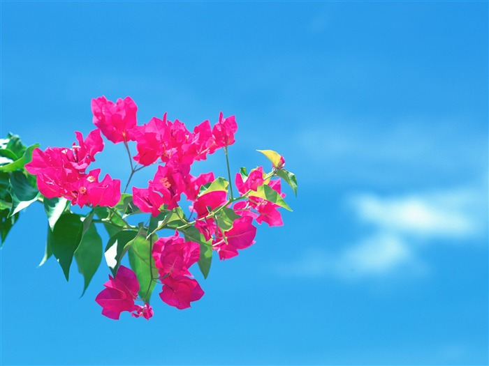 under the blue sky flowers wallpaper Views:6500